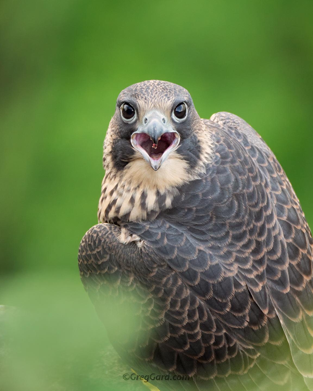 Juvenile Peregrine Falcon, NJ - Panasonic G9 + 100-400mm lens