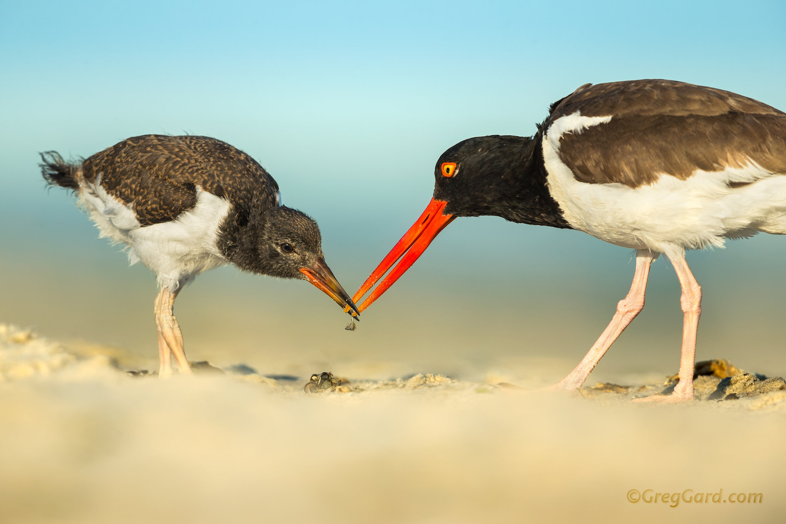 Adult American Oystercatcher feeding a juvenile - Nickerson Beach, Long Island, NY