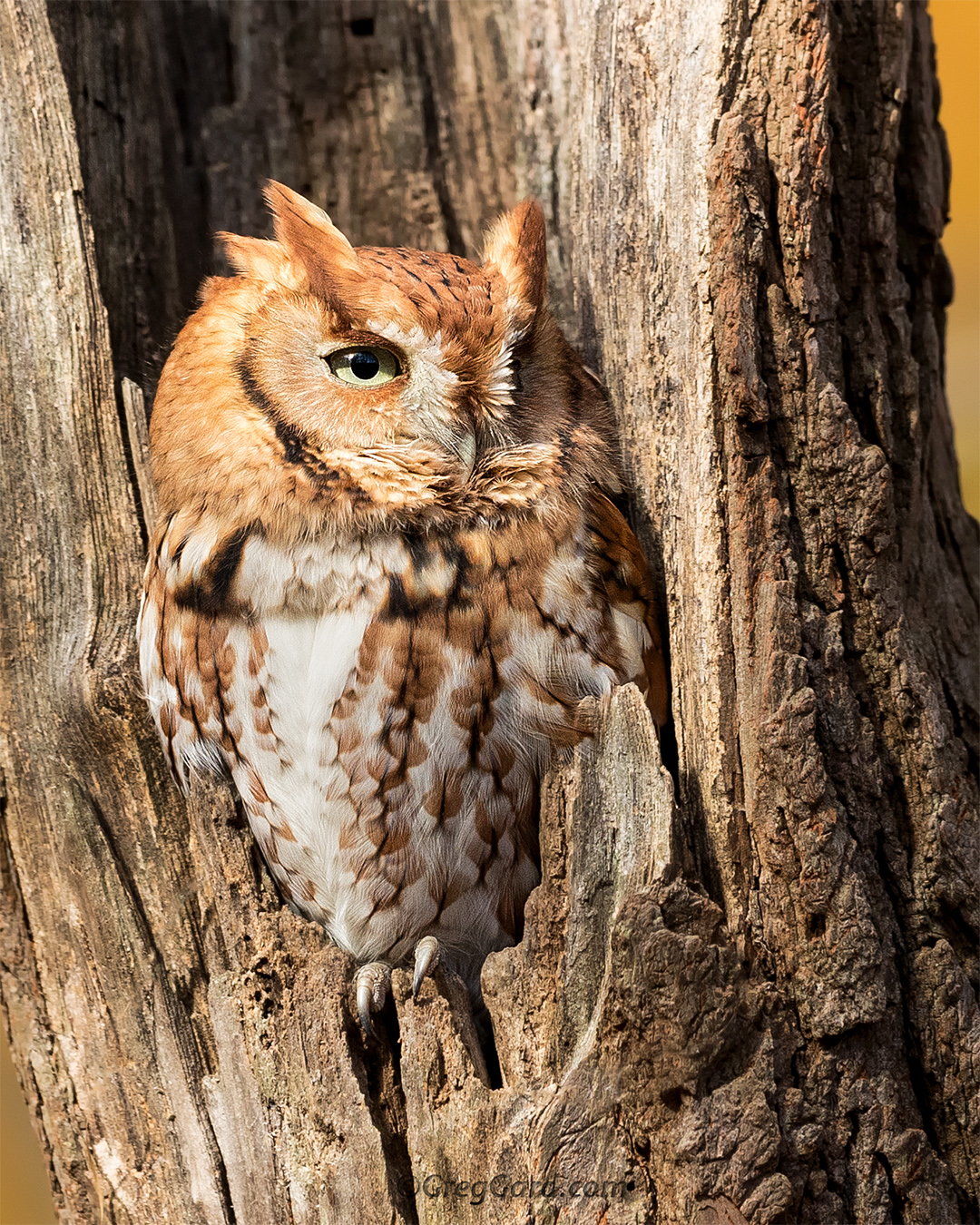 Close-up of a red morph Eastern Screech Owl - Bergen County, NJ