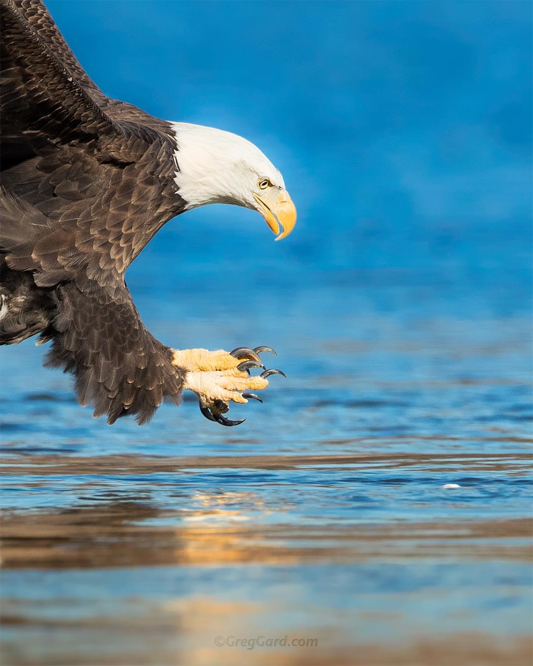Bald Eagle spreading talons to grab a fish - Conowingo Dam, Port Deposit, MD