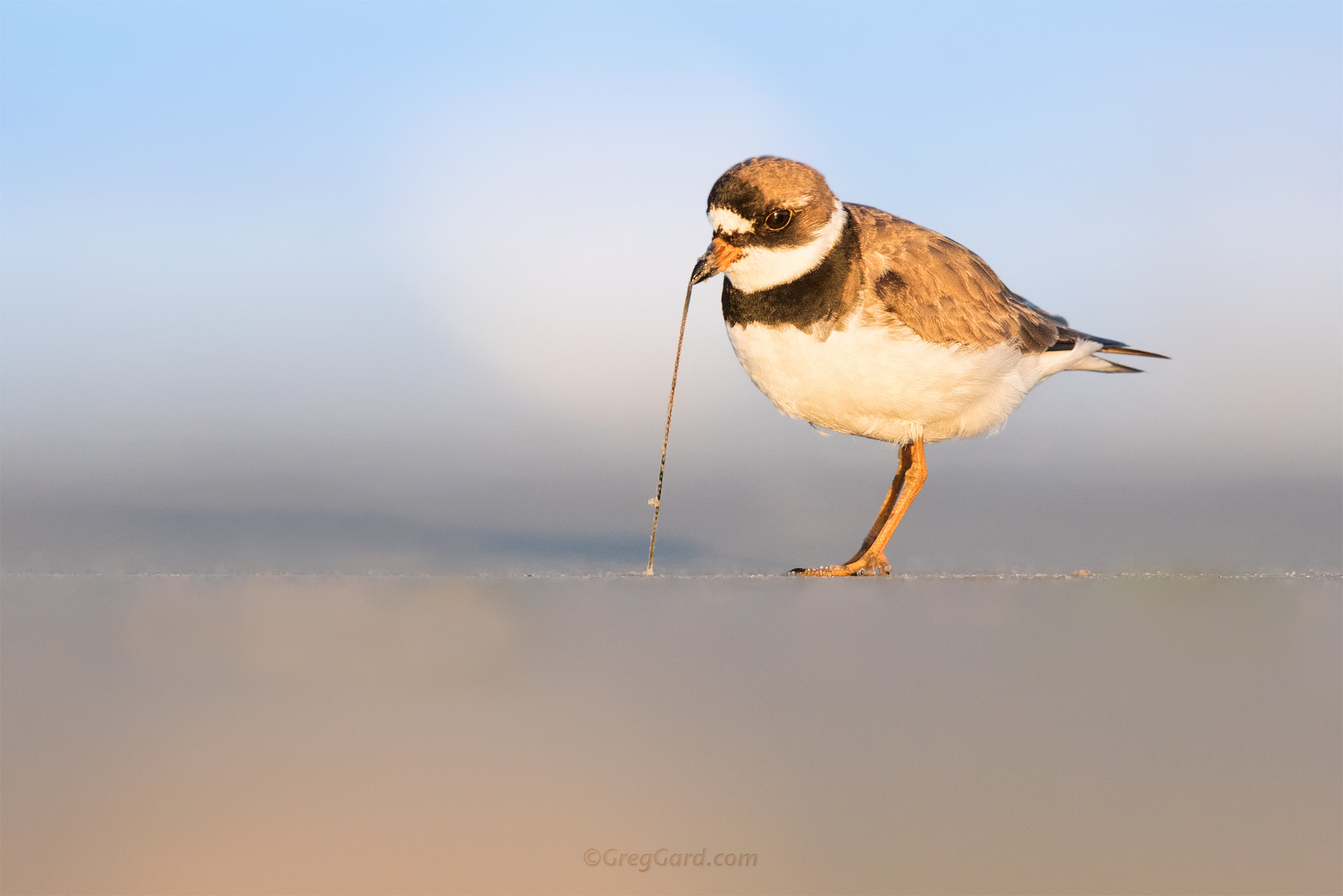 Adult Semipalmated Plover feeding on worms - NJ