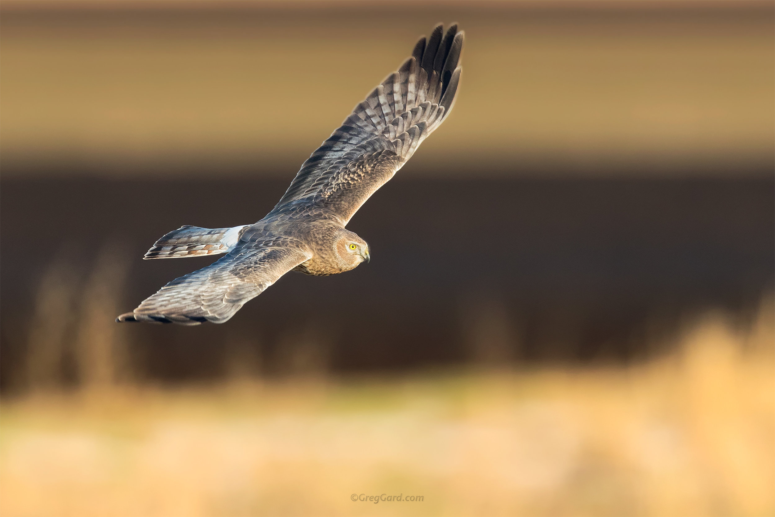 Northern Harrier hunting over the farm fields - NY