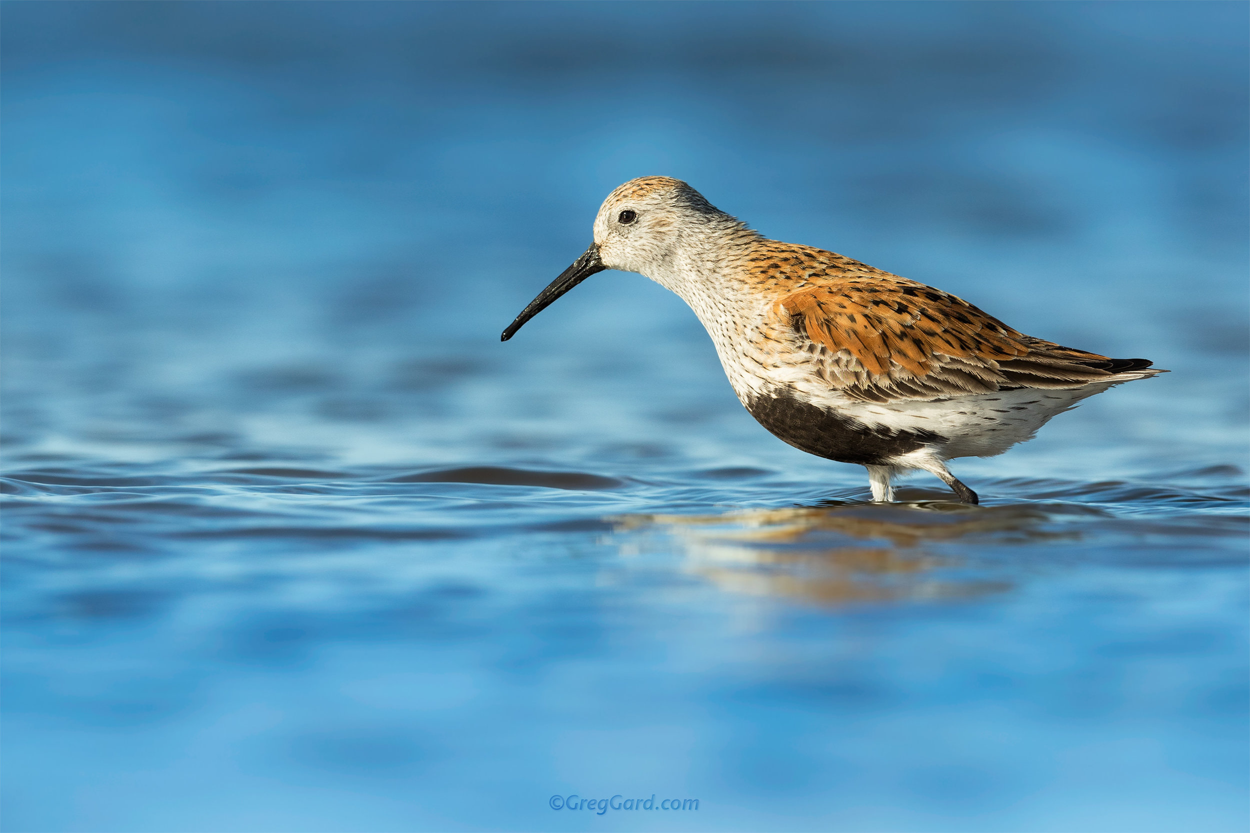 Dunlin in breeding plumage - Stone Harbor, NJ