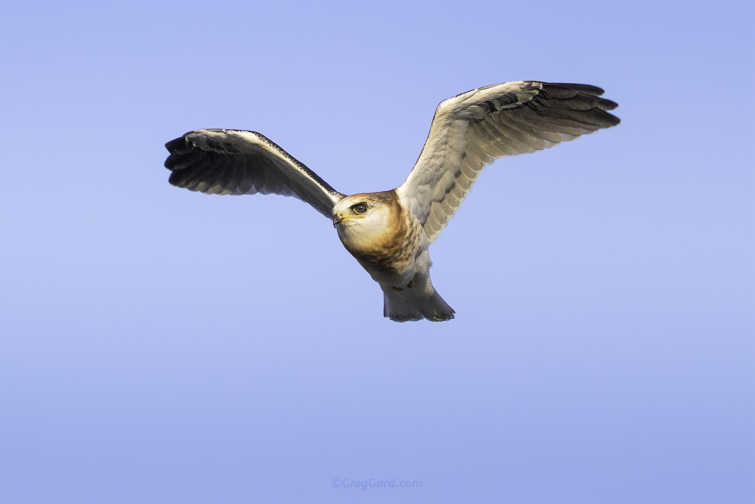 Juvenile White-tailed Kite flying by - CA