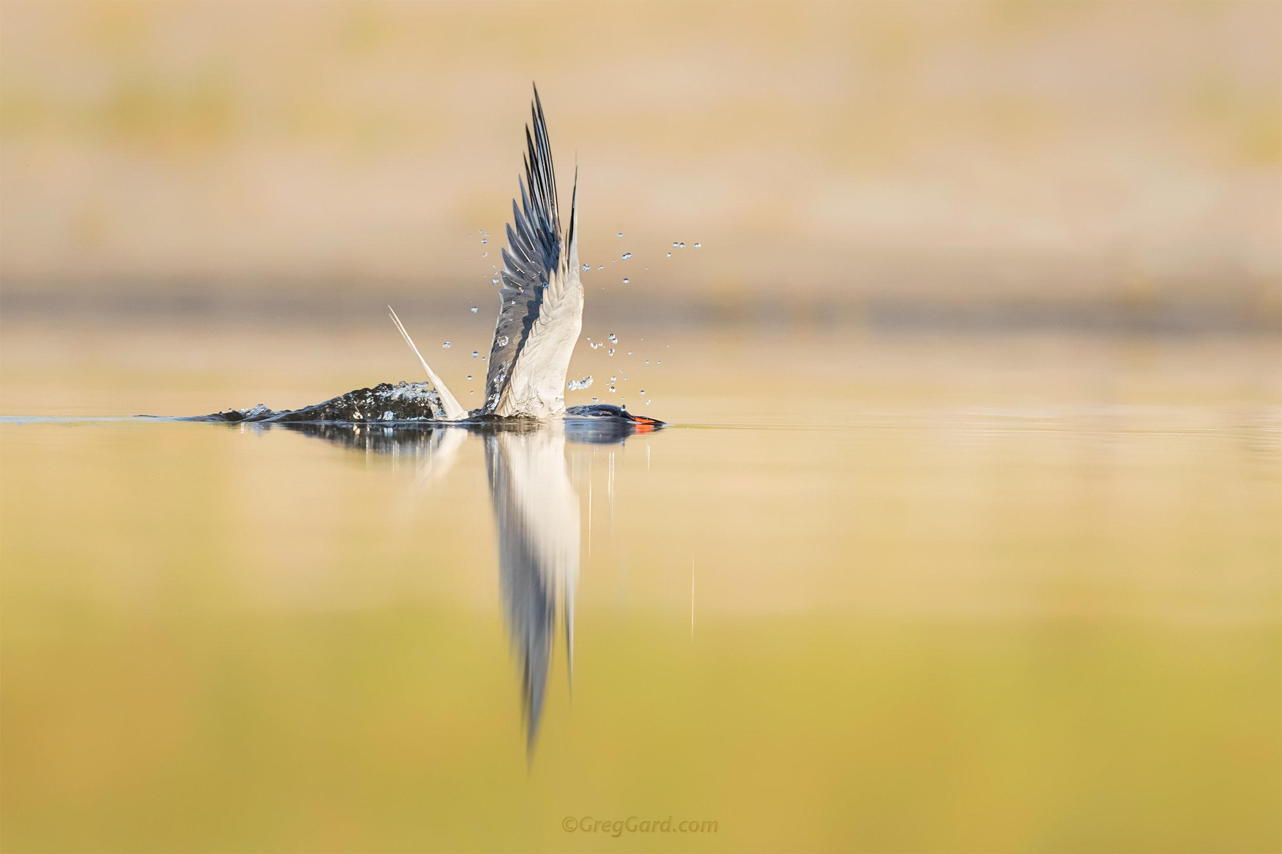 Common Tern bathing - Nickerson Beach, NY