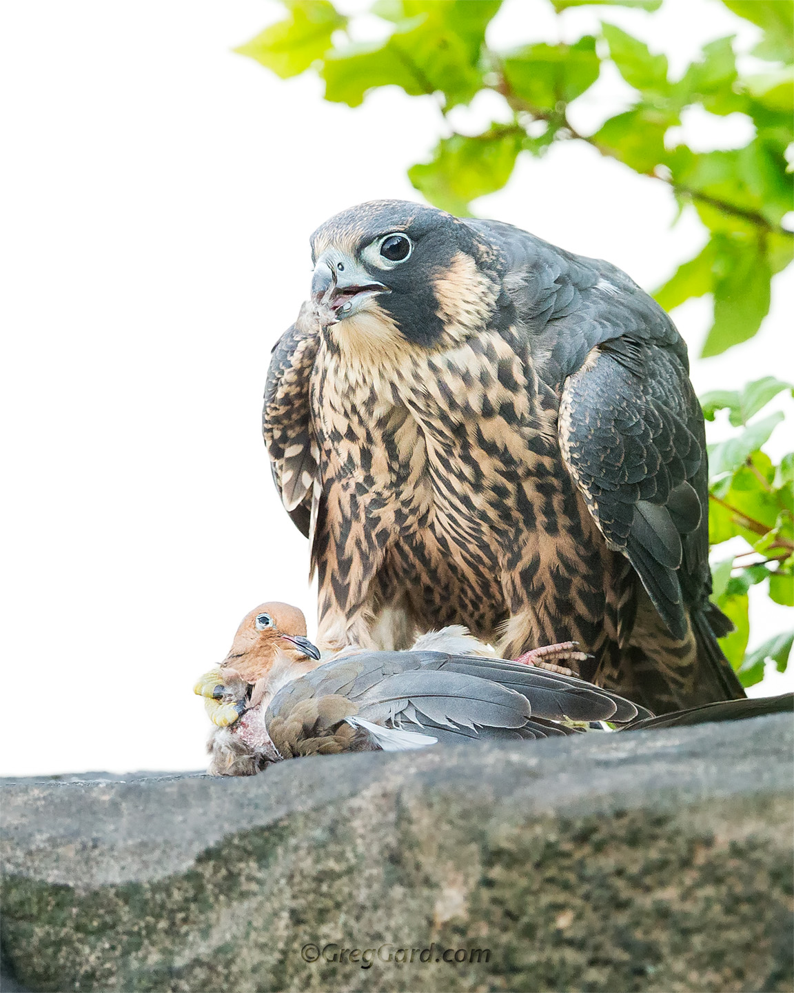 Close-up look on the young Peregrine Falcon  holding a Mourning Dove in its talons - New Jersey