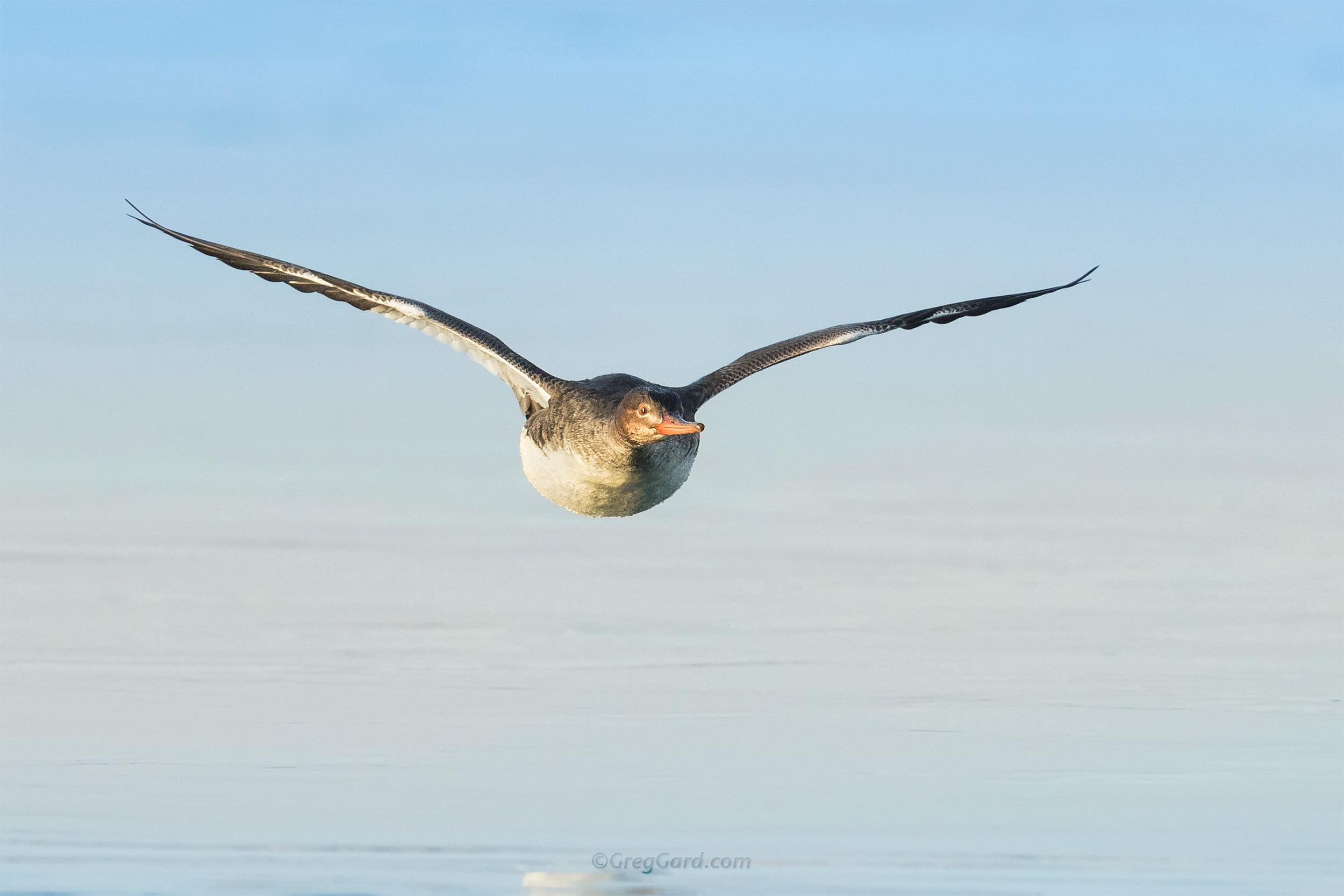 Common Merganser in flight - NJ