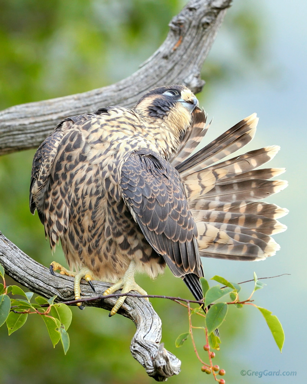 Close-up look on the young Peregrine Falcon caring for its feathers - New Jersey