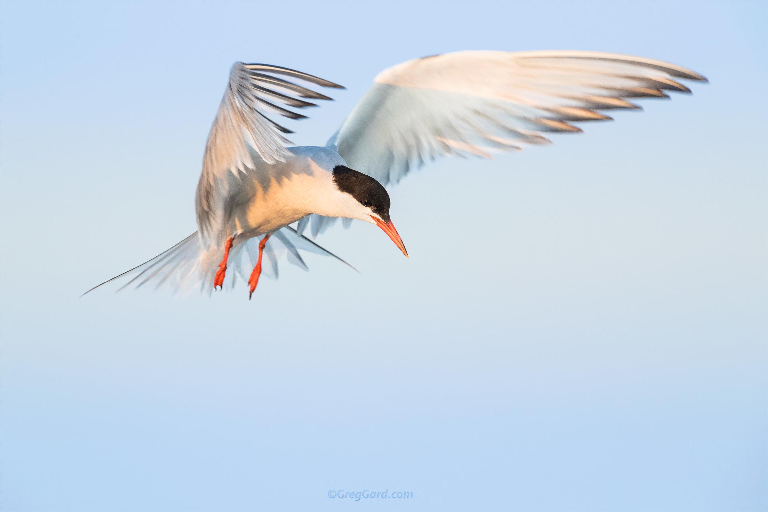 Common Tern - Nickerson Beach, NY