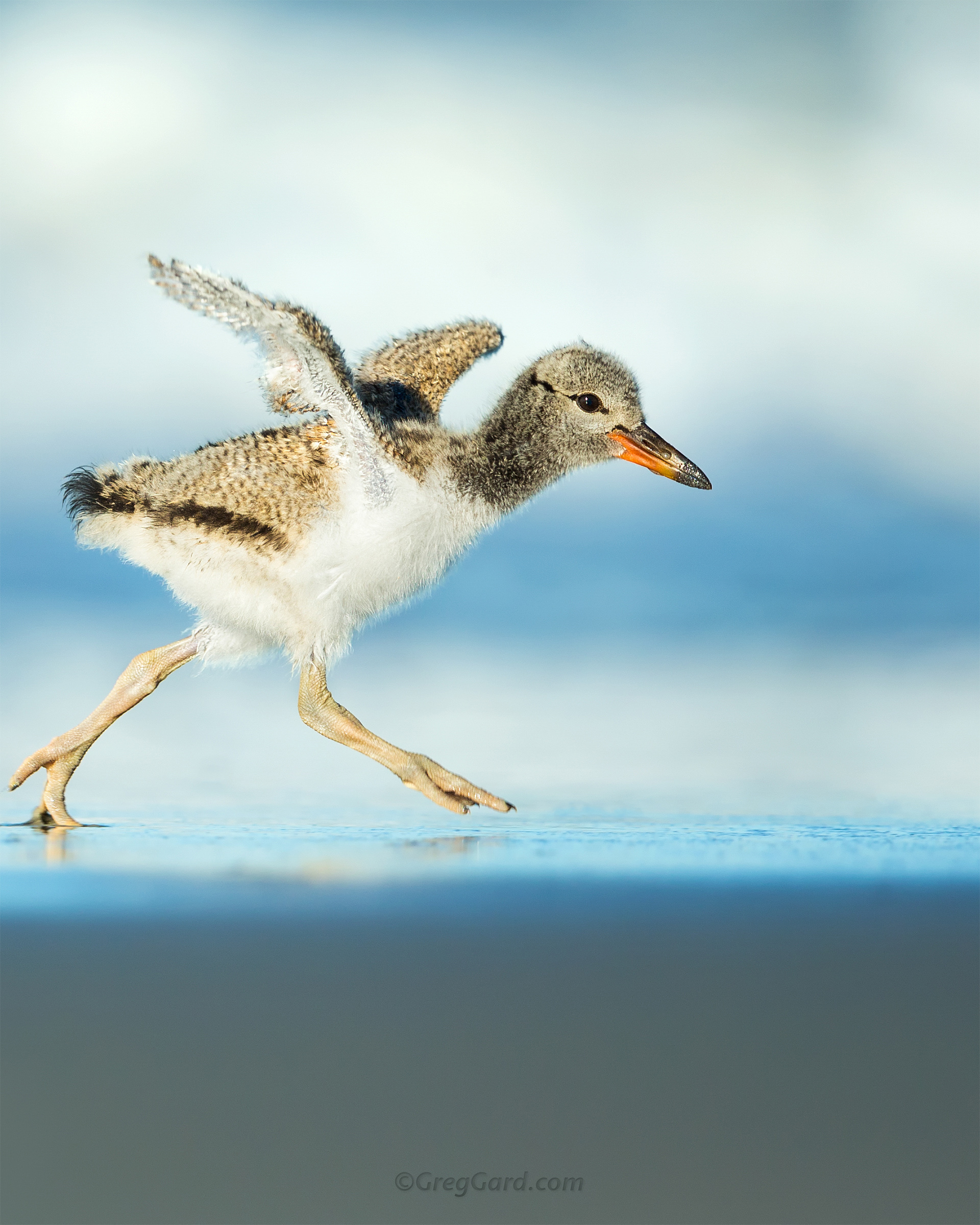 Young American Oystercatcher - Nickerson Beach, NY