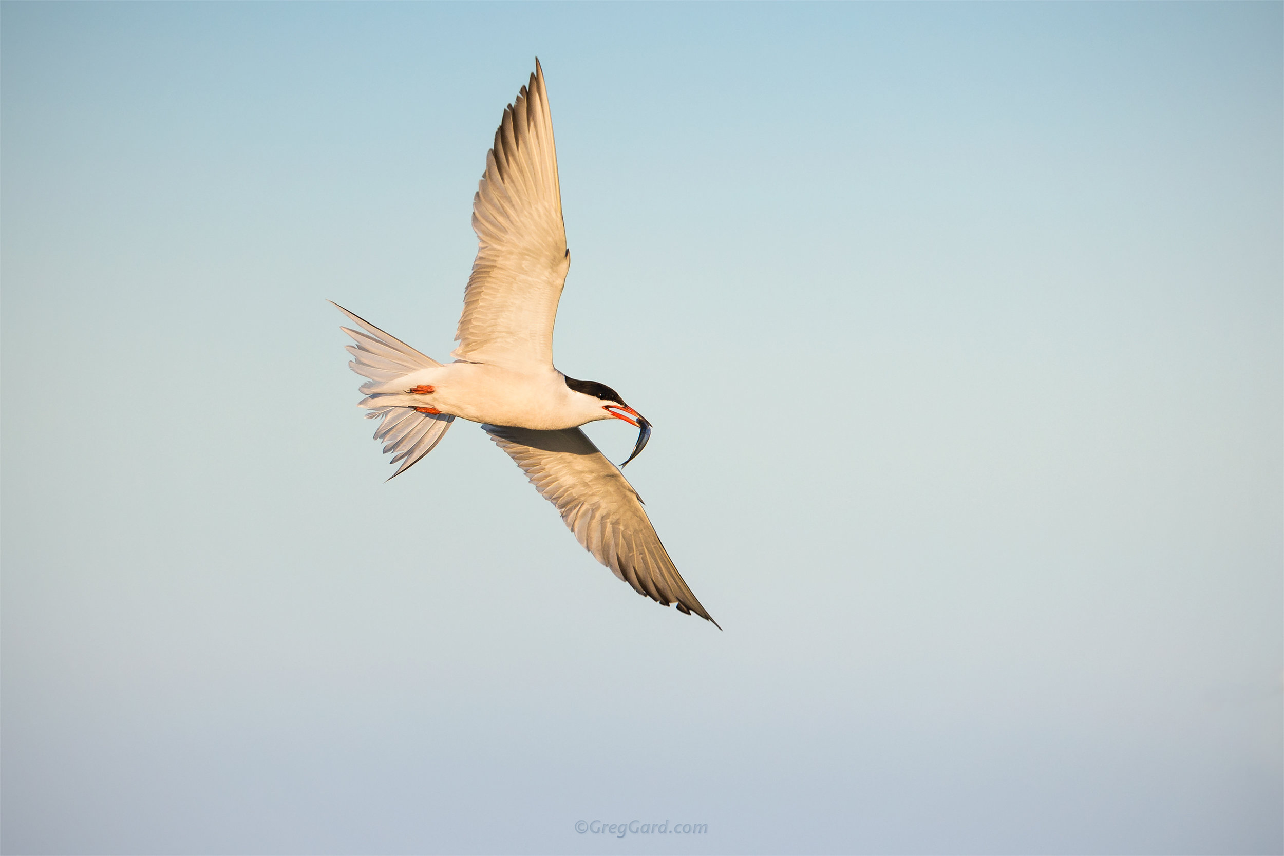Common Tern - Nickerson Beach, NY - landscape version of the same photo