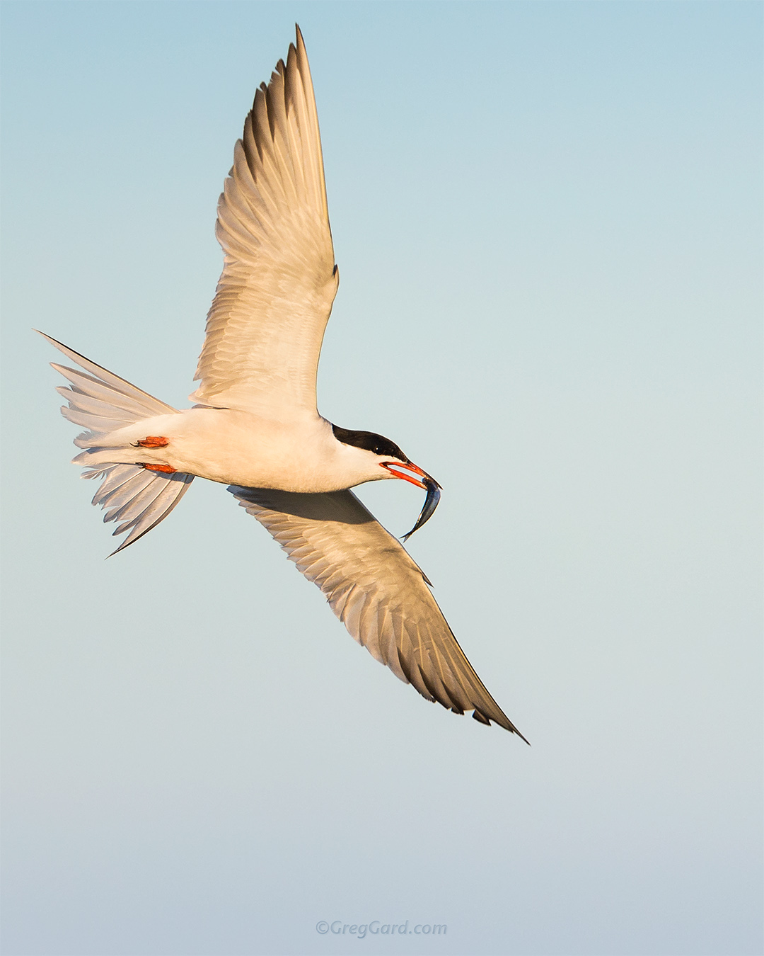 Close-up view on a flying Common Tern - Nickerson Beach, New York