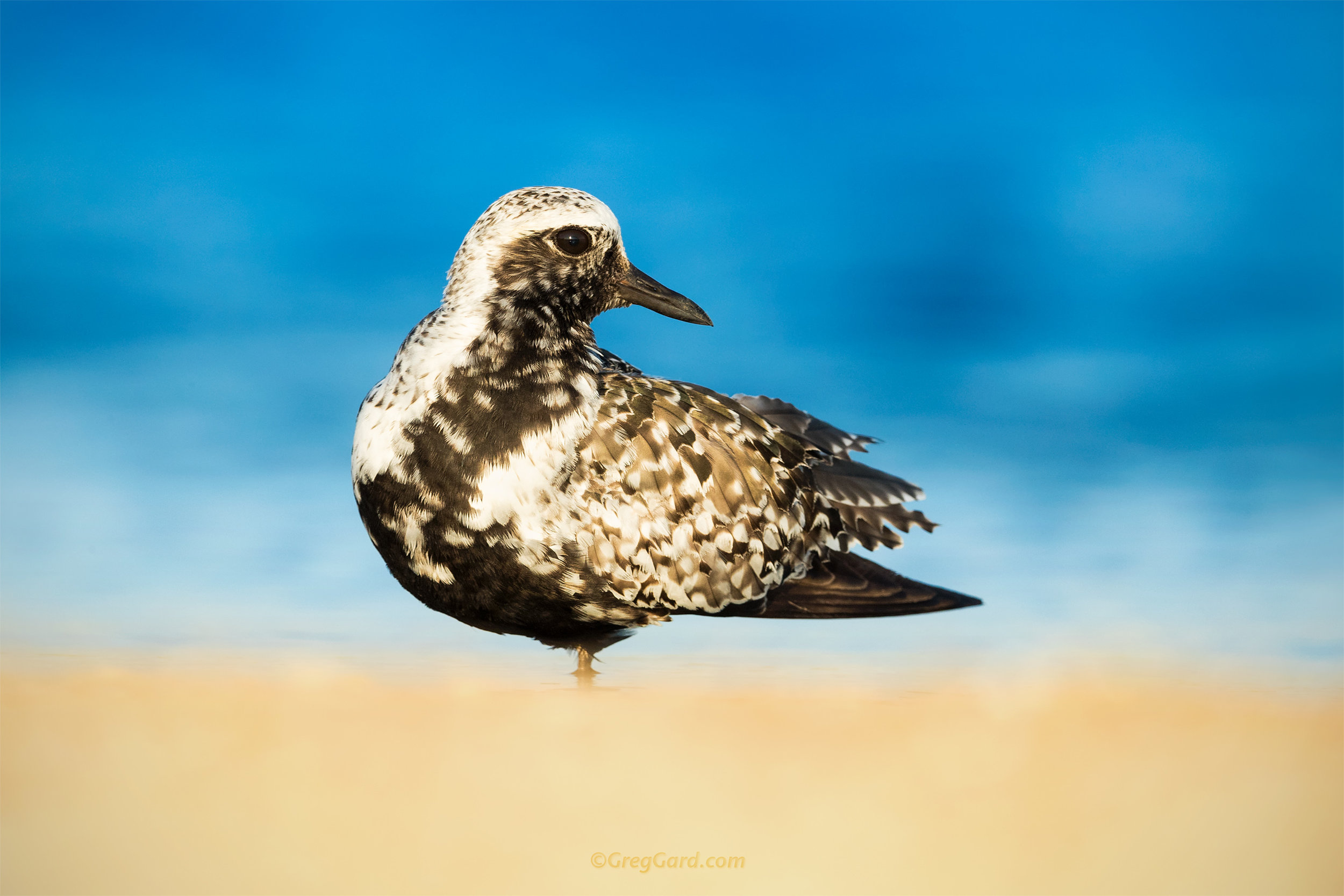 Black-bellied Plover - Stone Harbor, New Jersey