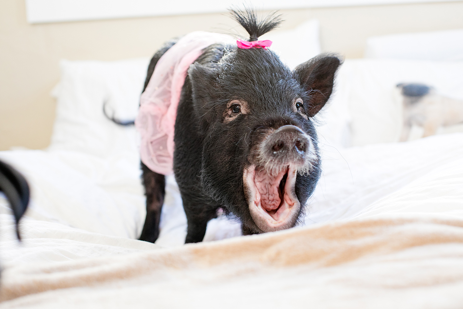 new-orleans-family-pet-portraits-pig.jpg