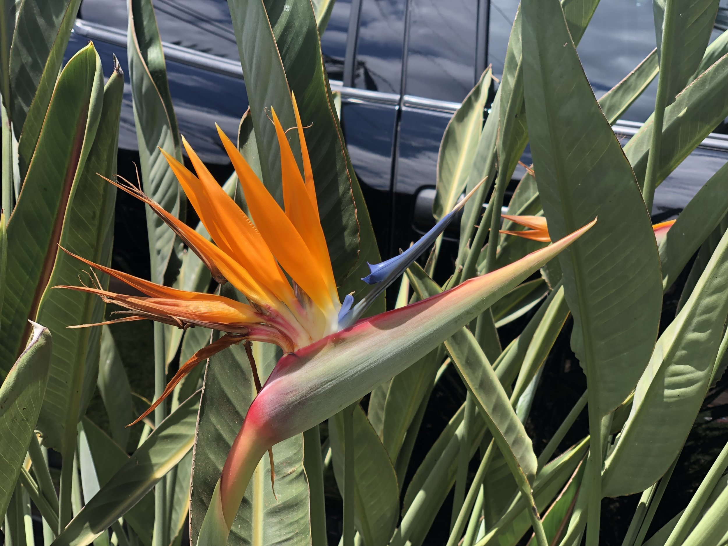 Birds of Paradise (Stephanie's favorite flower) are ALL OVER Maui! They grow like weeds there… #jealous