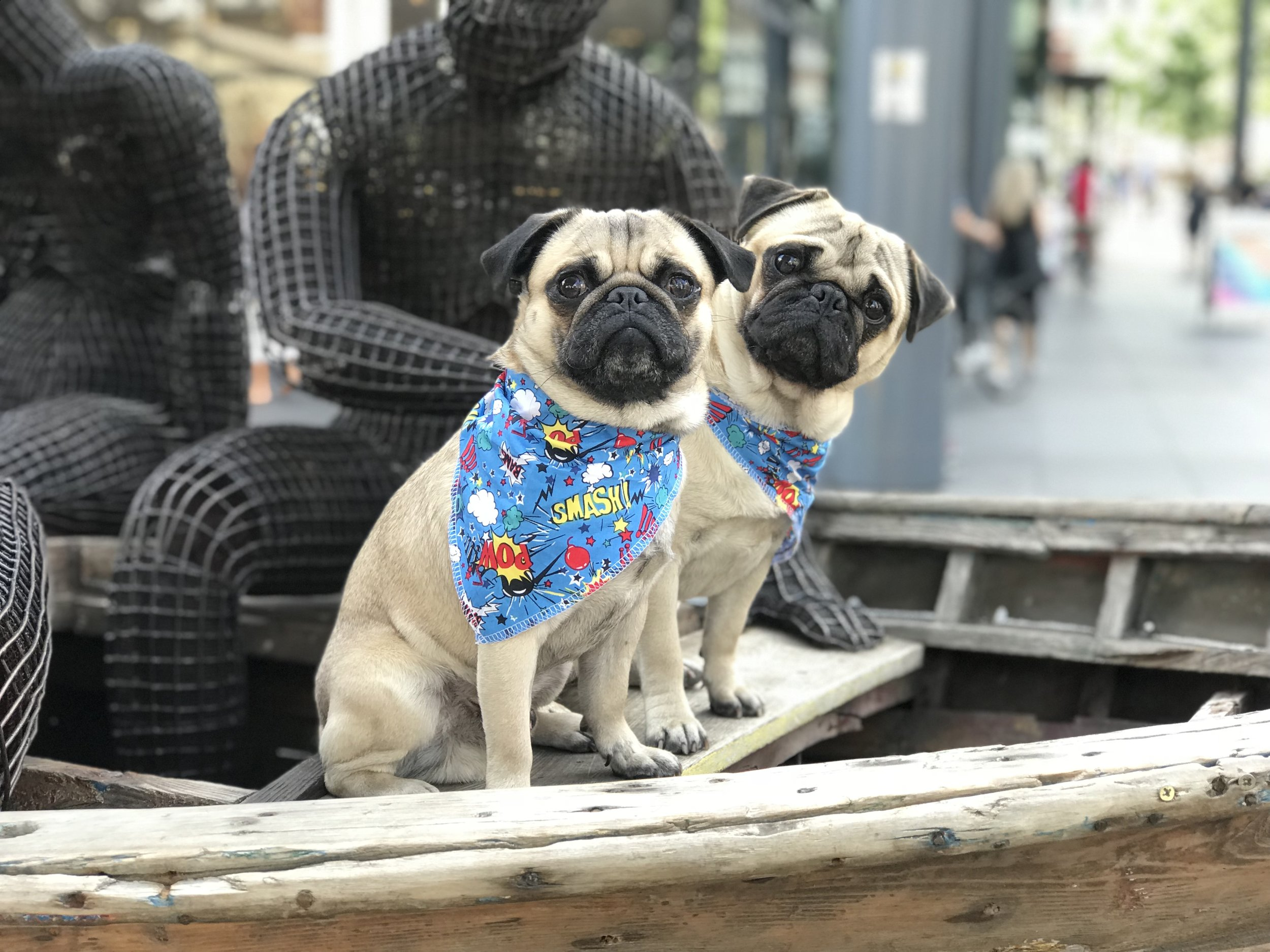Come and meet our office pugs Gaston & Bruce.