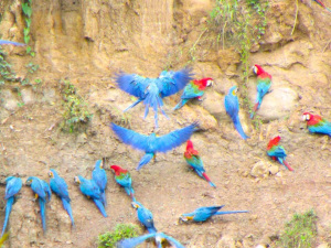 Blue and Yellow Macaws and Red and Green Macaws coming down to the clay.