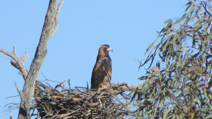 * Black-breasted Buzzard nest founds on private lands in South Australia