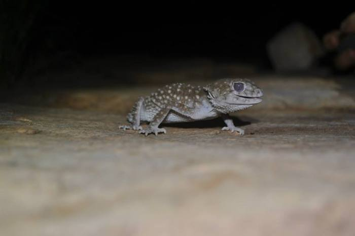 Northern knob tailed gecko