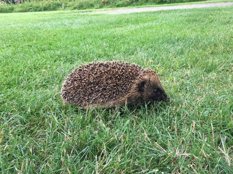 A-hedgehog-on-the-campsite-768x576.jpg