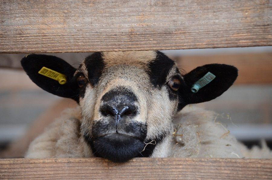 Sheep_2_sml.jpg