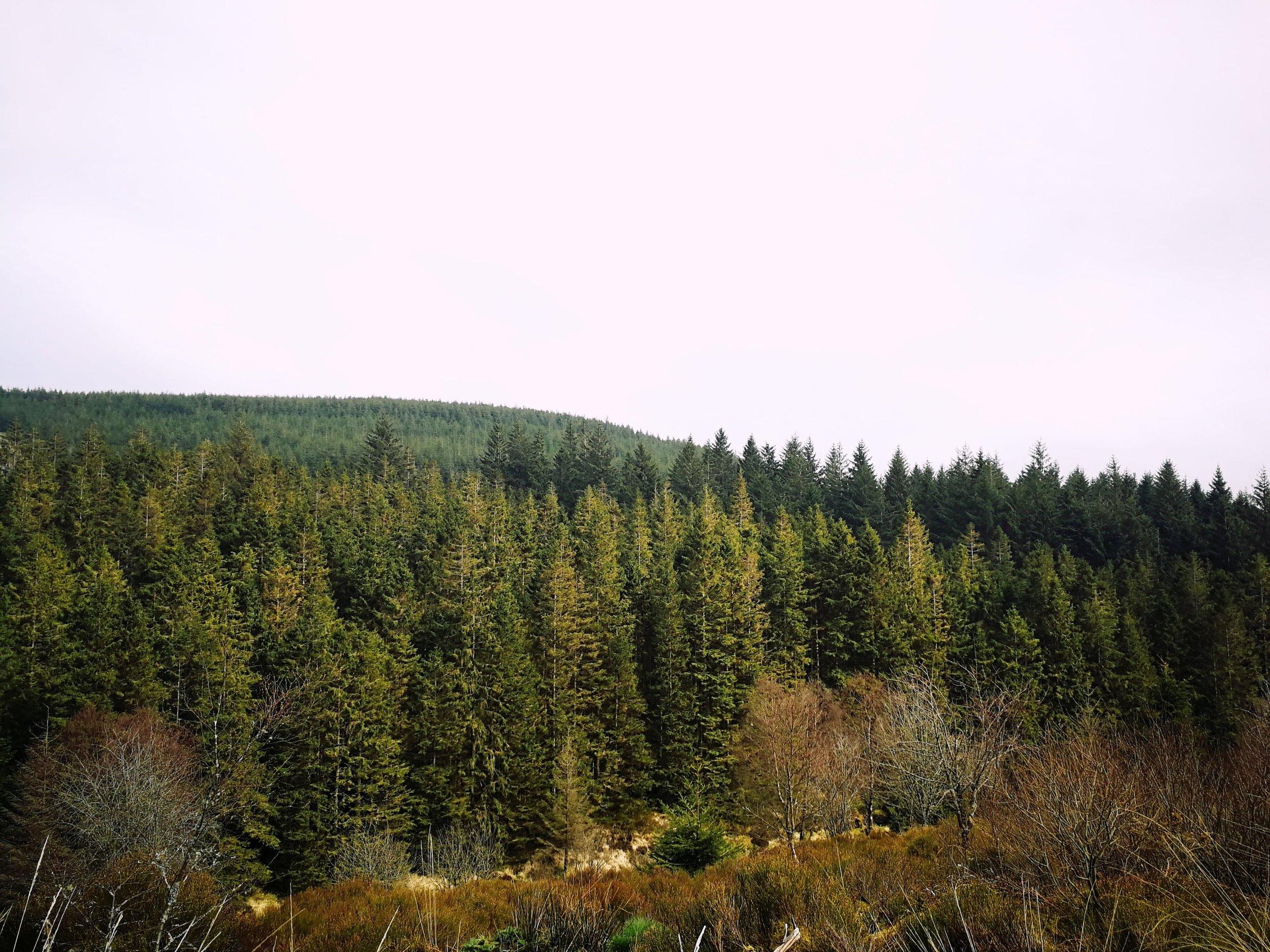 Hafren Forest trees.jpg
