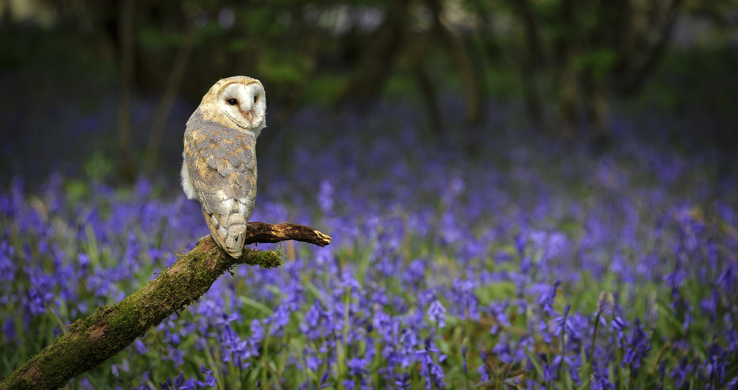Barn Owl in Bluebell Wood