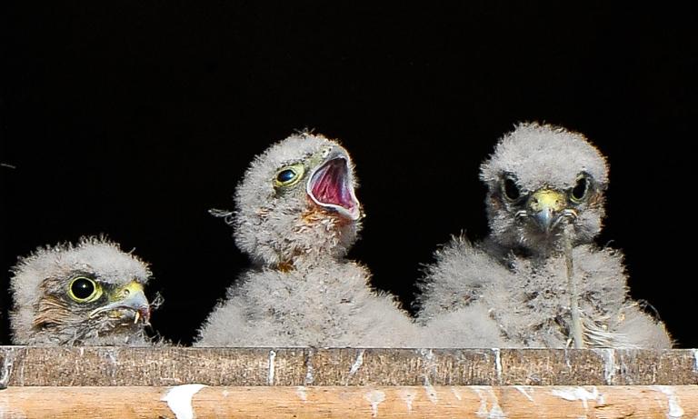 Kestrel Chicks - 51694J -  Longparish 17 Jul 013.jpg