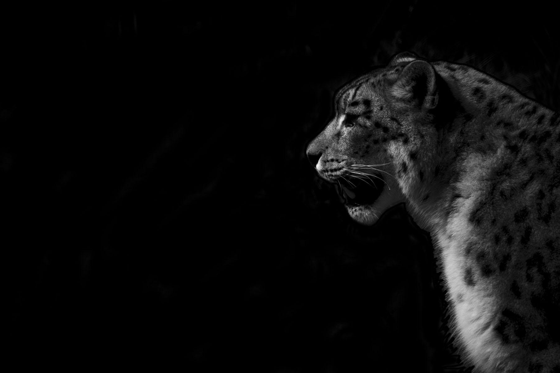 chantelle_white_snow_leopard.jpg