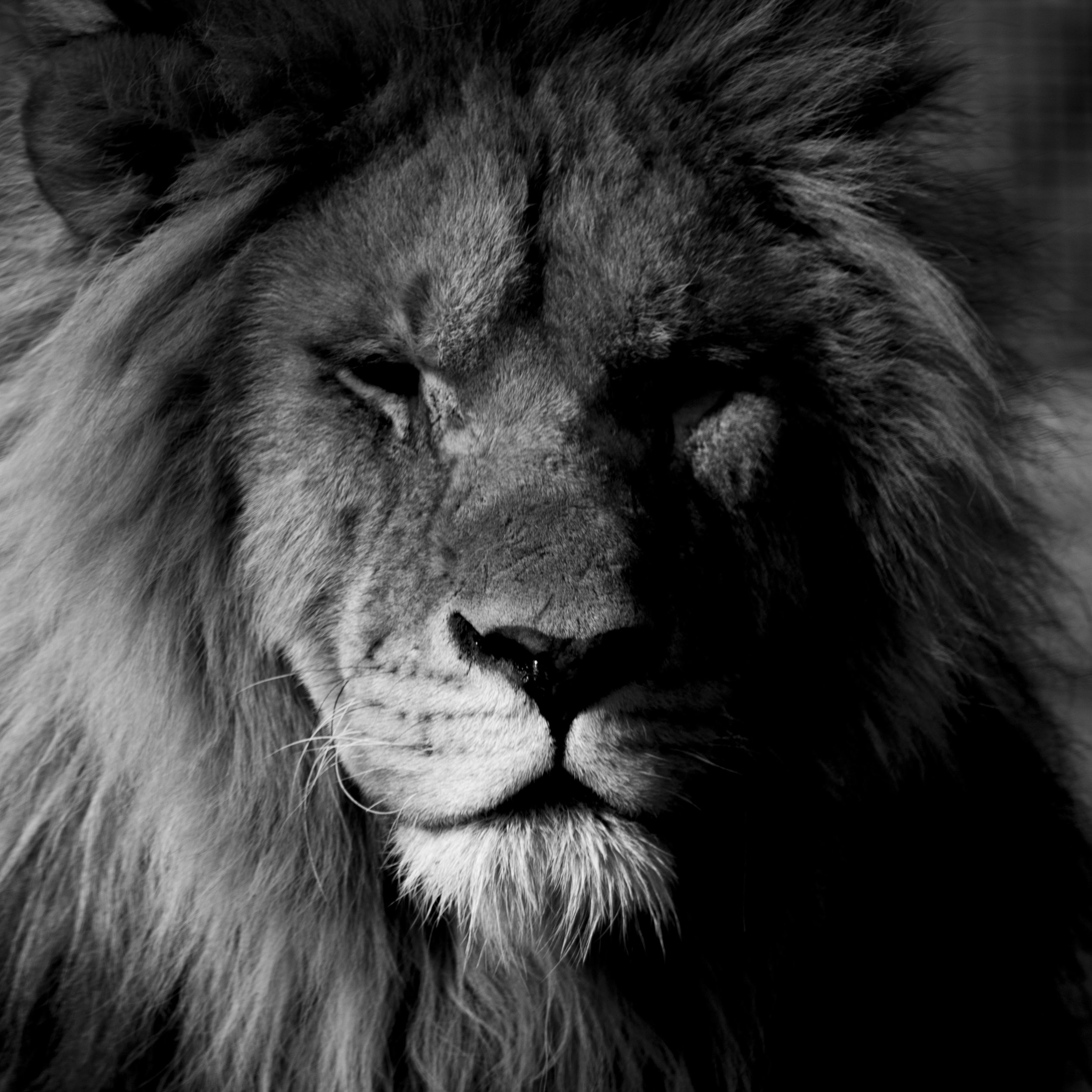 chantelle_white_lion.jpg