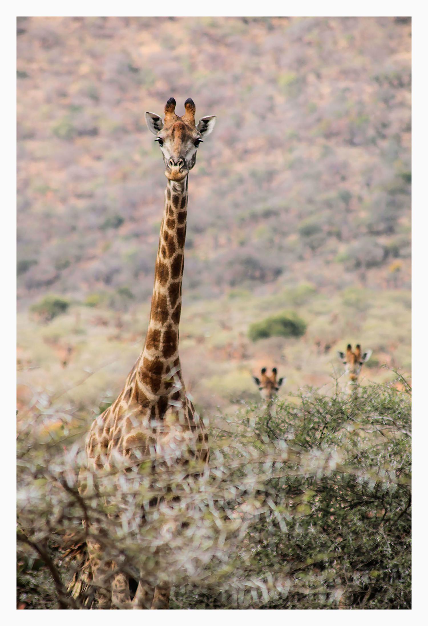 charlotte_gill_giraffe_2_small.jpg