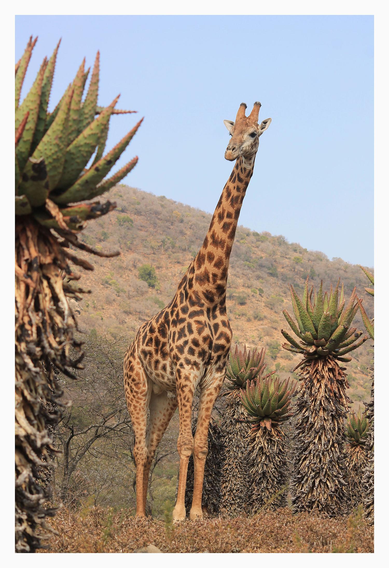 charlotte_gill_giraffe_3_small.jpg