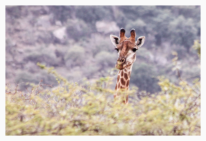 charlotte_gill_giraffe_1_small.jpg