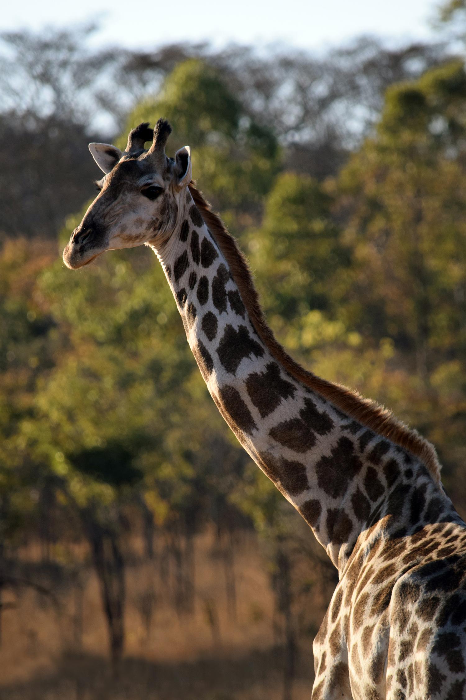 poppy_rampling_Giraffe 3_small.jpg