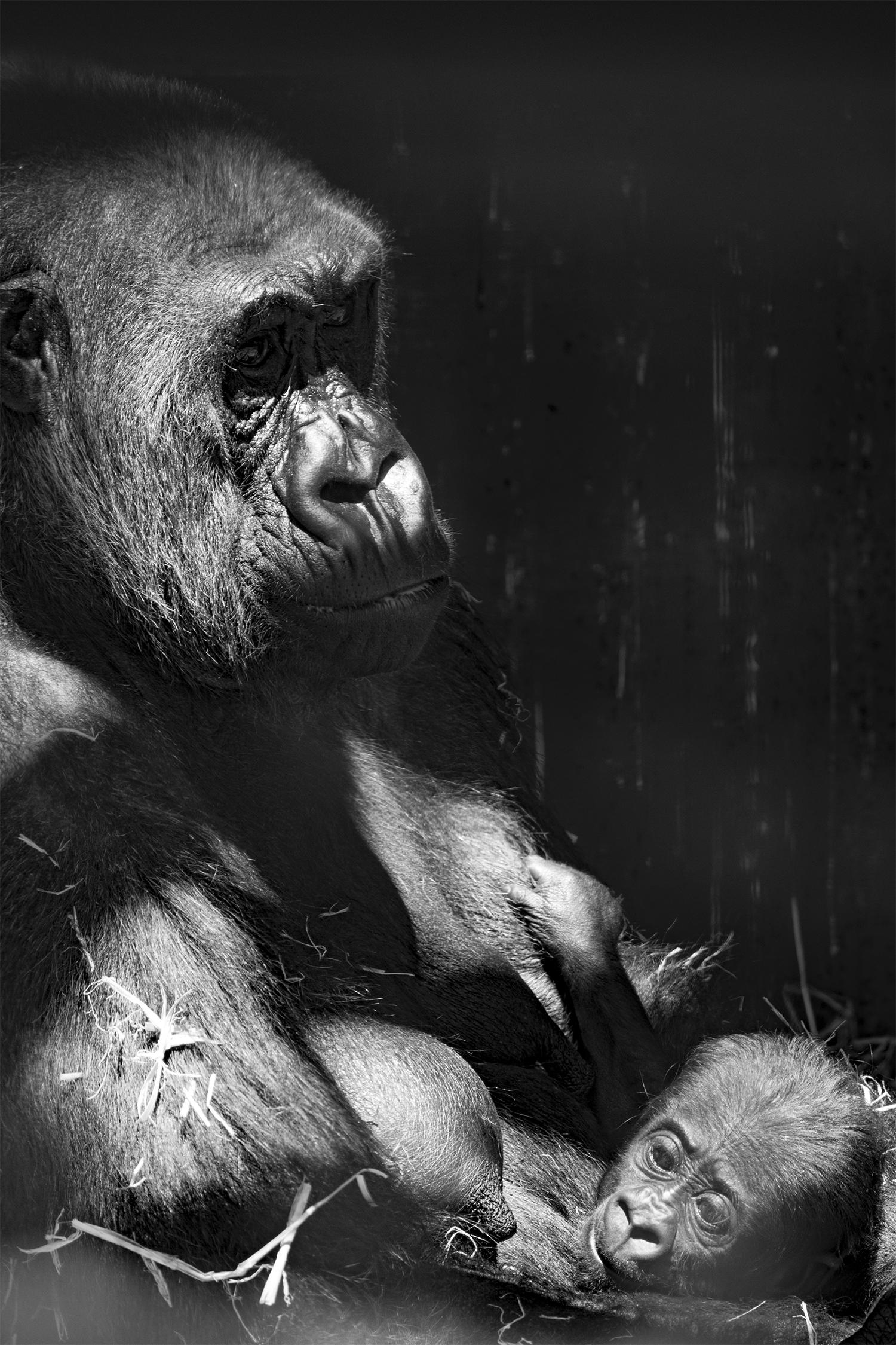 poppy_rampling_Gorilla 1_small.jpg