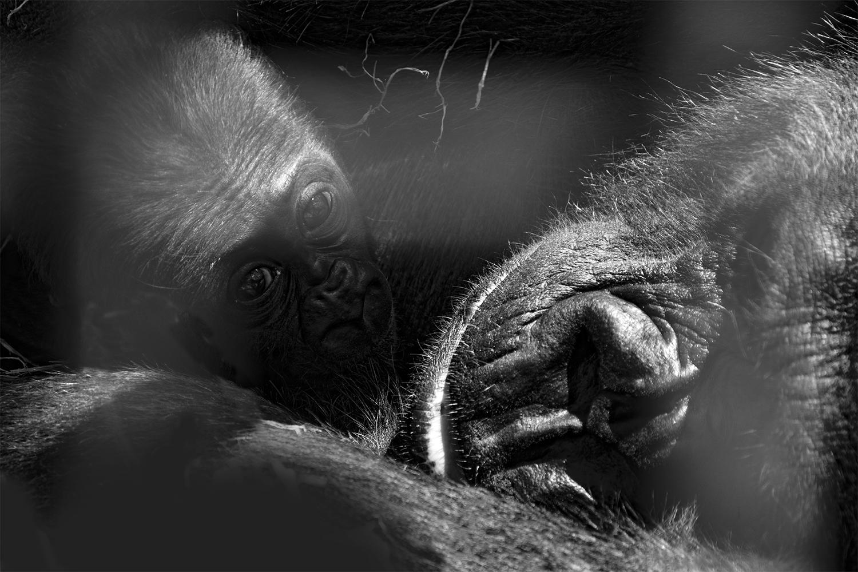 poppy_rampling_Gorilla 3_small.jpg