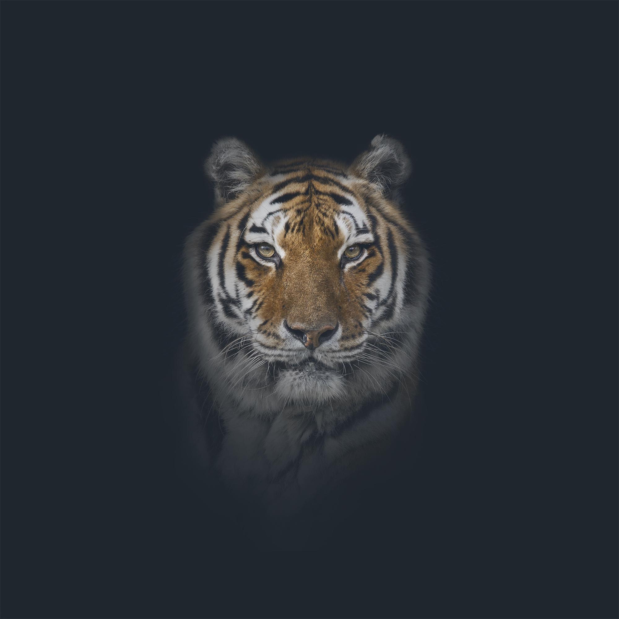 AE_Tiger.jpg