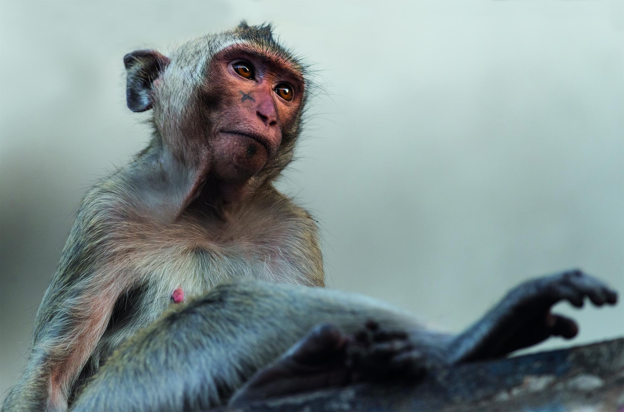 EV_Mafia macaque.jpg