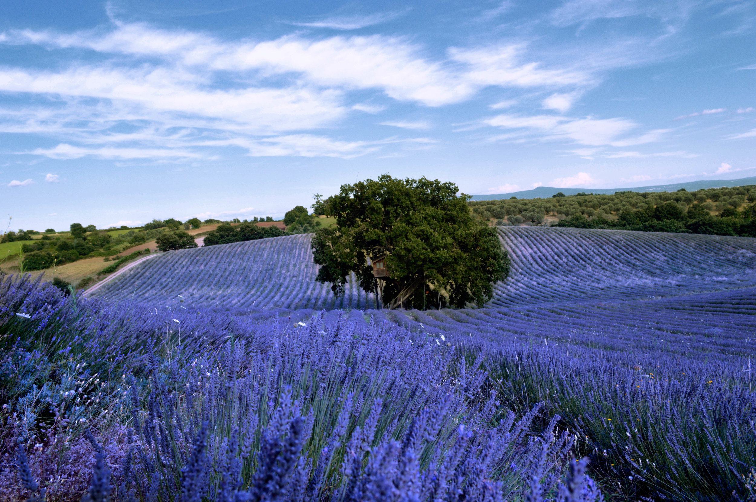 lavender-fields-la-piantata