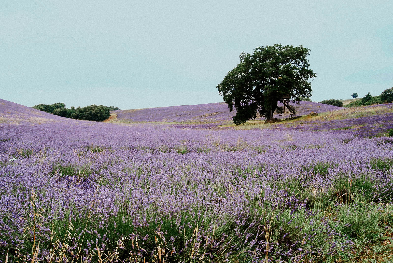 lavender fields - la piantata