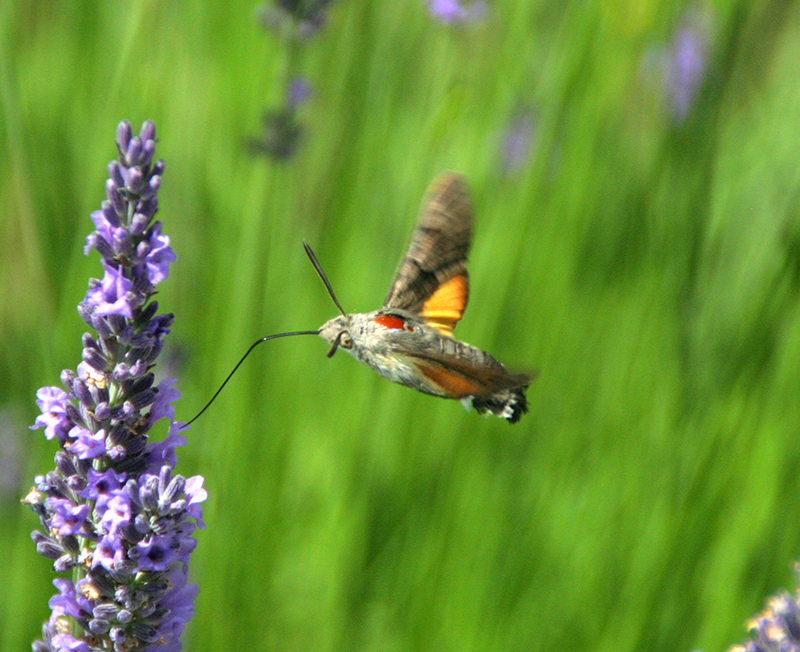 Wildlife - Many of our visitors are fascinated by the huge variety of wild flowers and creatures in our little paradise. The wild prairie field has many different kinds of orchids, wild herbs and other interesting plants. Beautiful butterflies flit about in the spring and summer, crazy bugs have made their home, and nightingales will sing you to sleep.