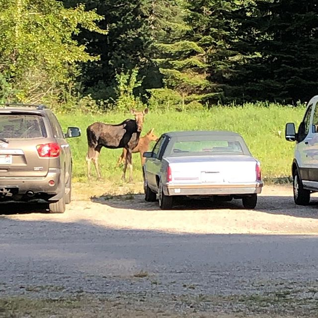 Last night a mama moose and her baby wandered through camp several times.
