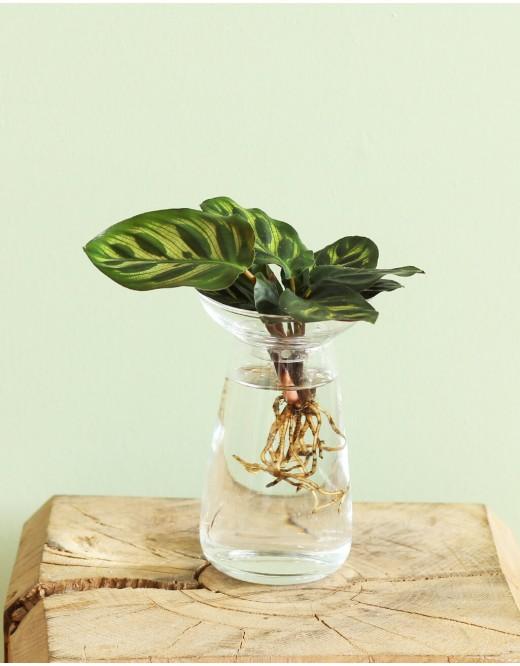 Le Calathéa Aquatique & vase . 35,90€