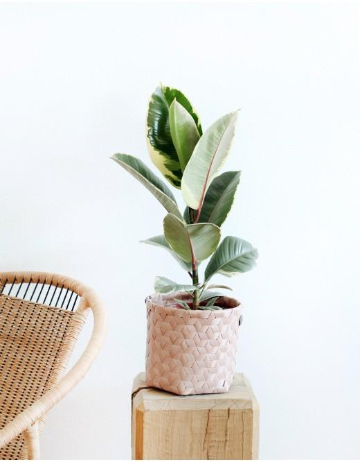 Ficus Tineke . 18€