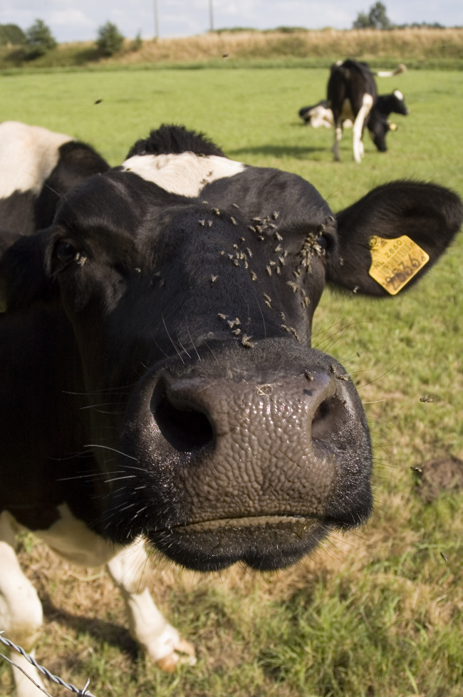 moo-cow.jpg