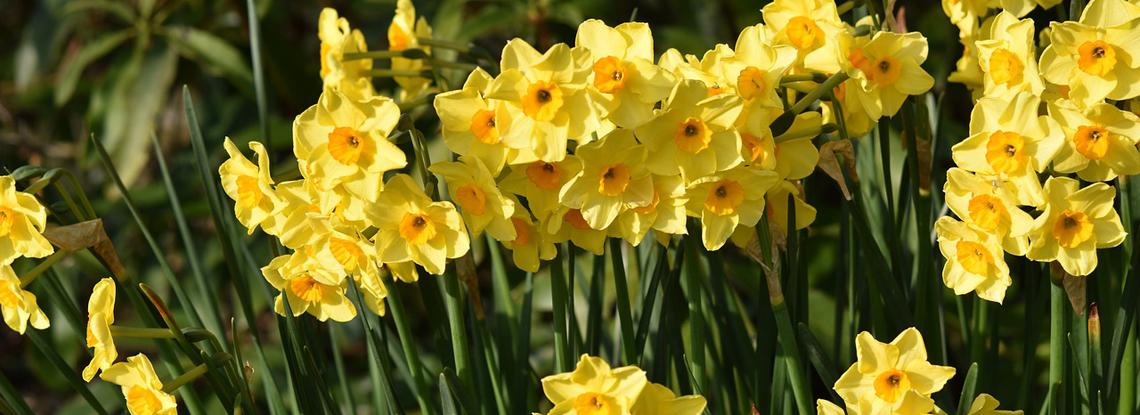 spring-landscape-daffodils.jpg