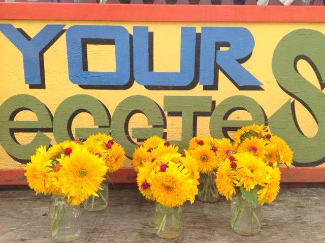 VILLAGE FARM Teddy Bear sunflowers.jpg