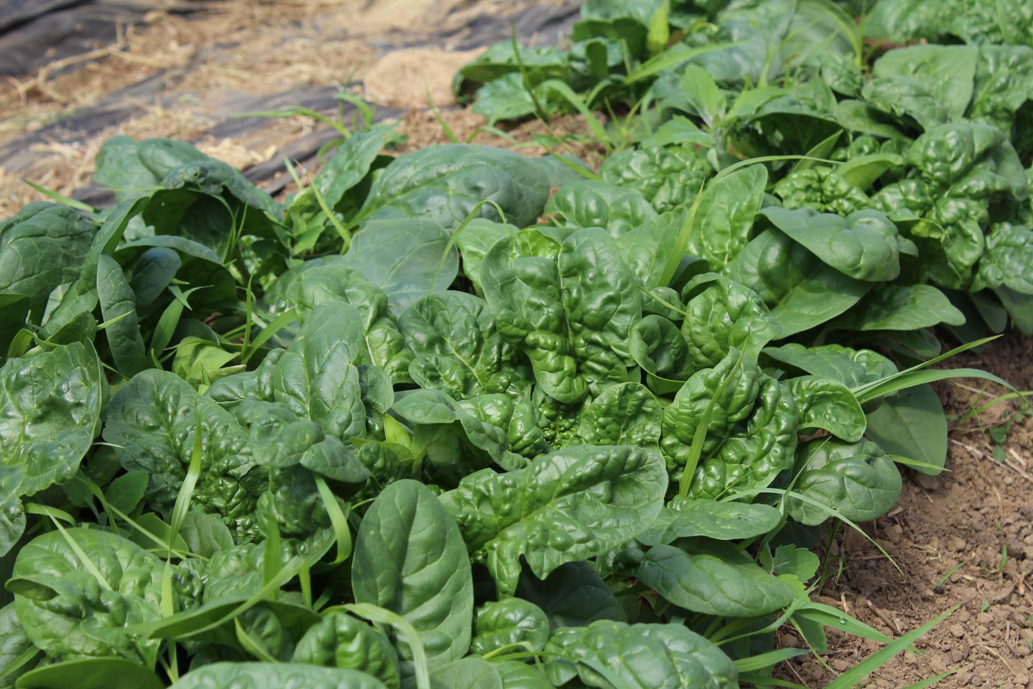 Organic Spinach LAFONTAN.jpg