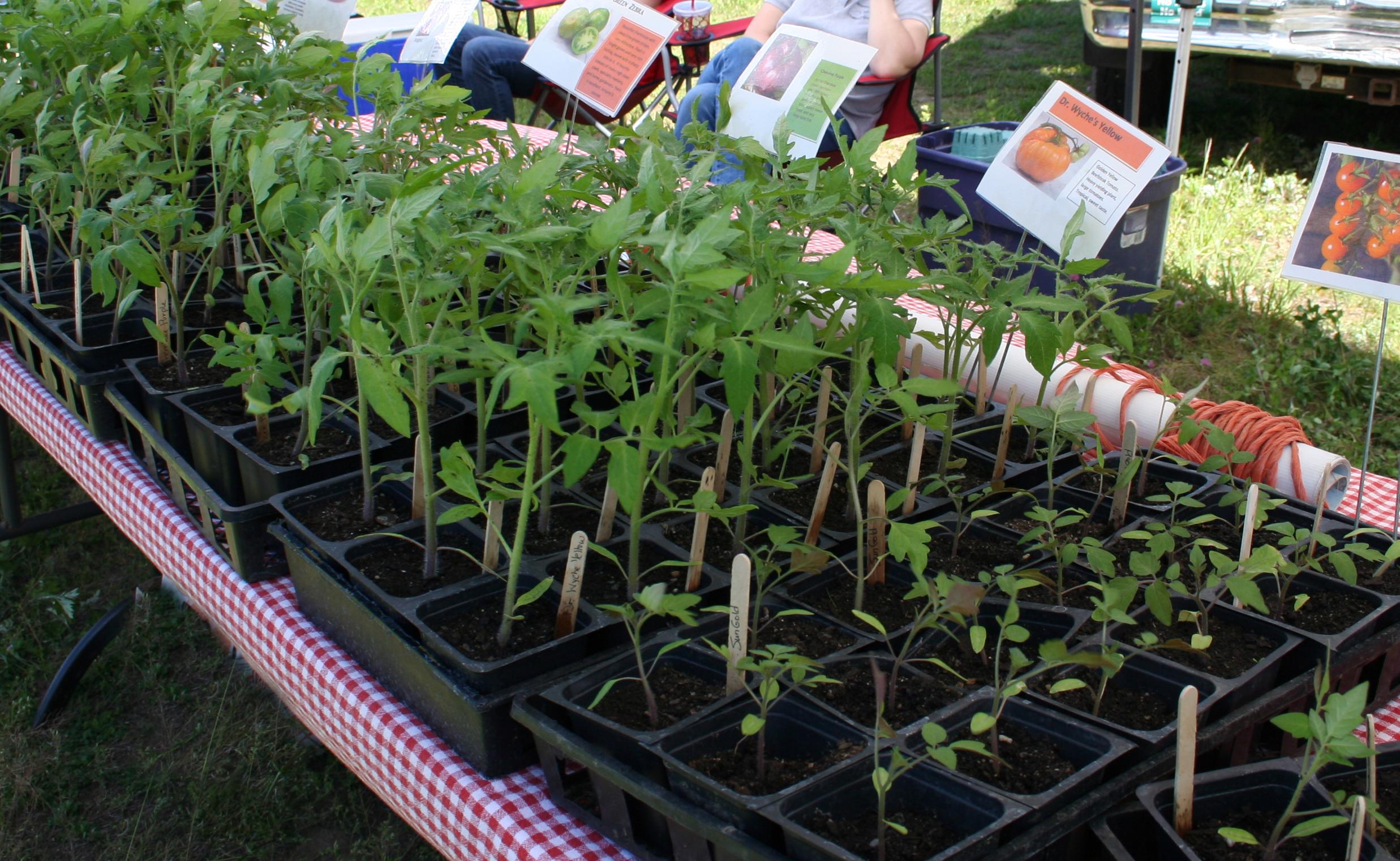 tomato plants revised.jpg