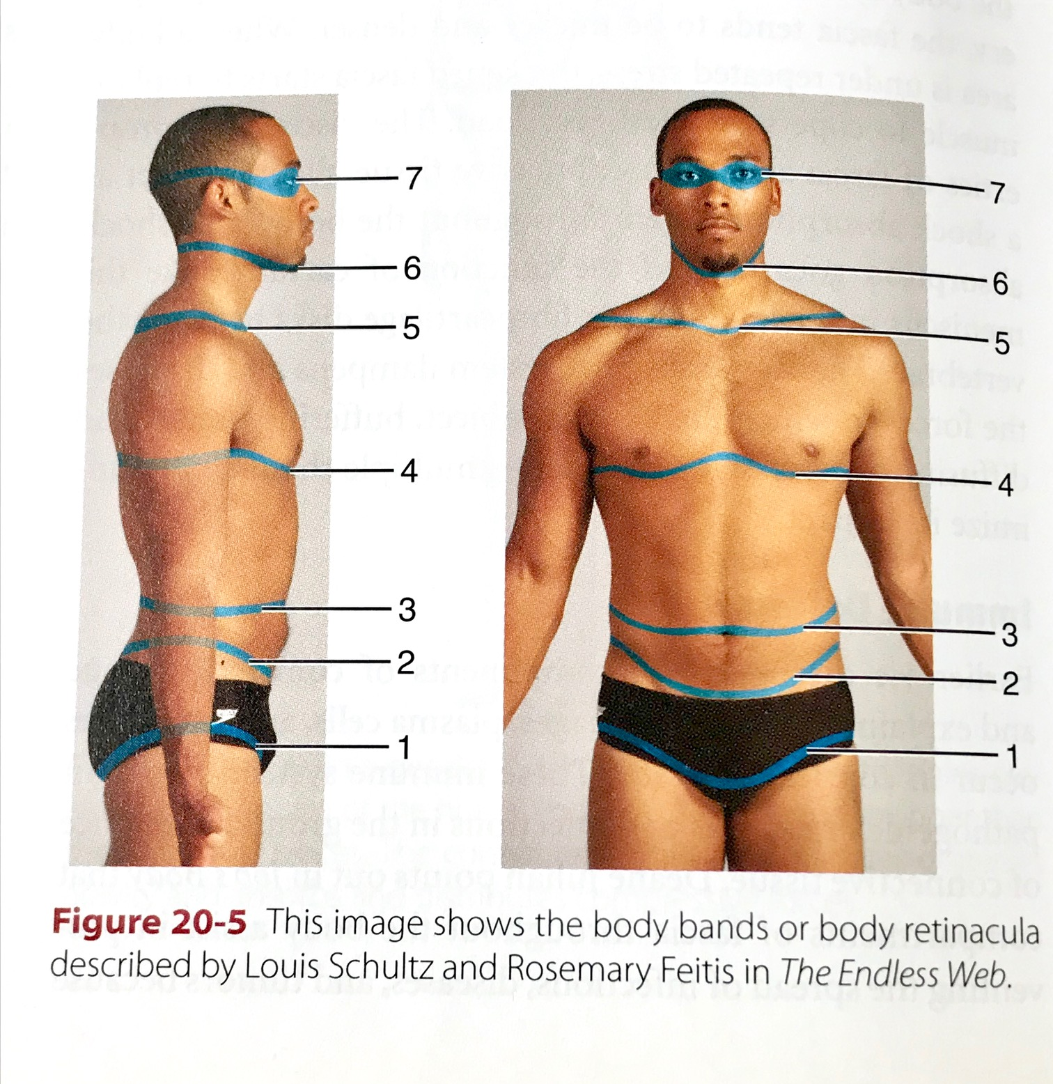 Image of horizontal fascial planes on the body. Fascia is what gives shape, hold, and structure to the body. It is the connection between muscle and bone, joints, and blood and lymphatic vessels.   Image credit of Anne Williams' Massage Mastery, (p. 594)